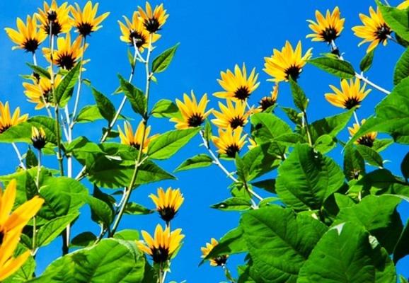 poleznye-svojstva-listev-i-cvetkov-topinambura