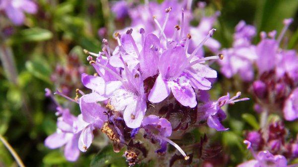 чабрец растения полезные свойства