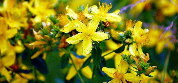лечебные свойства и противопоказания травы зверобой
