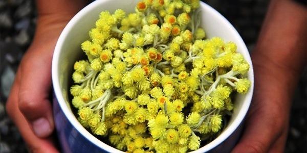 бессмертник трава при раке опухоли