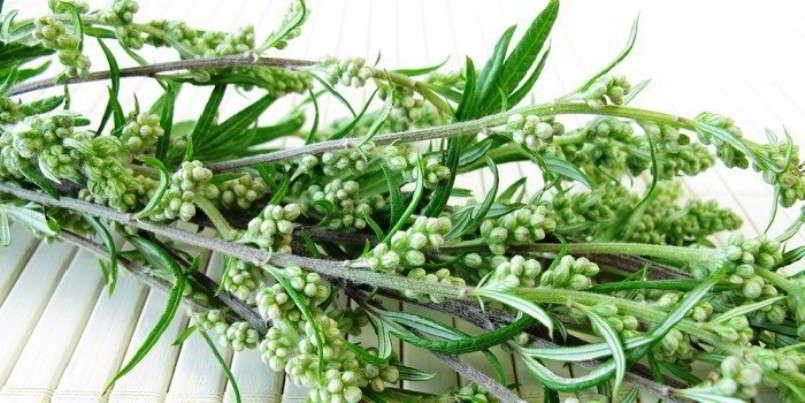 Полынь горькая – лечебные свойства и противопоказания