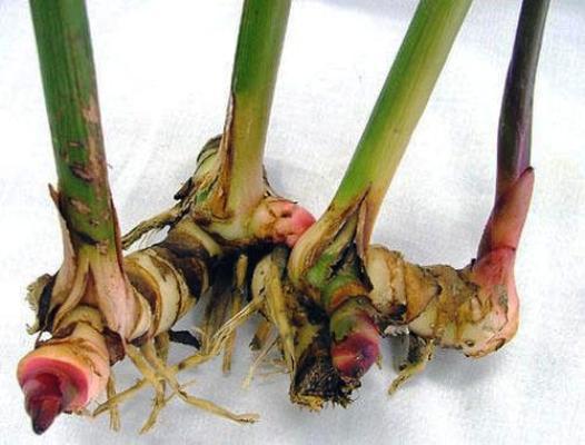 калган корень лечебные свойства
