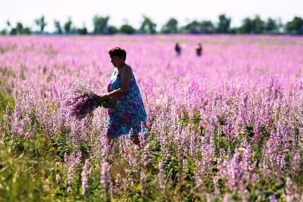 когда цветет иван-чай фото где растёт