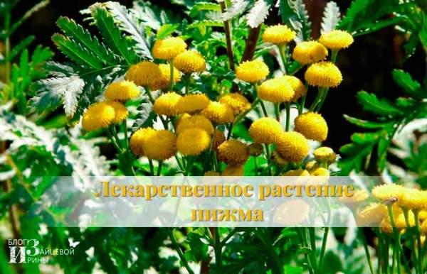 трава пижма лечебное растение