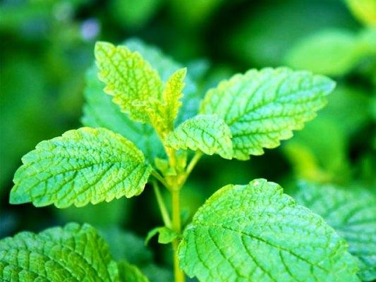трава мелисса лечебные свойства
