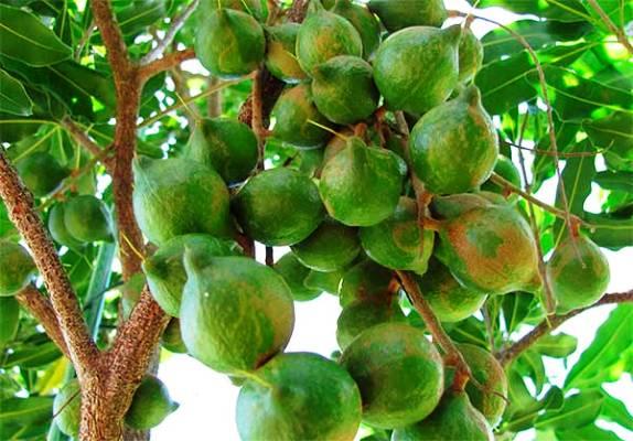 полезные свойства состав ореха макадамия