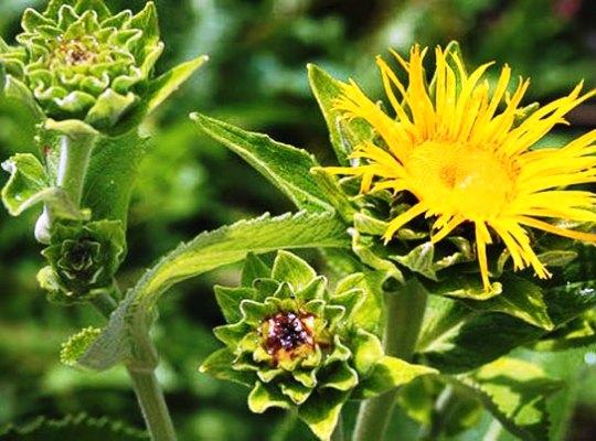 растение девясил и его лечебные свойства