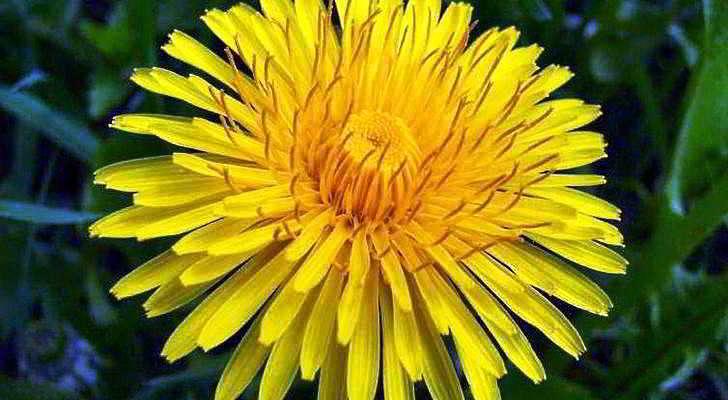 Лечебные свойства цветков одуванчика для женщин и мужчин, рецепты
