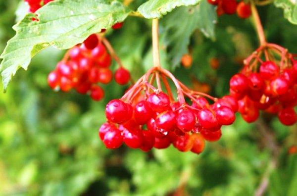 ягода калина полезные свойства для женщин