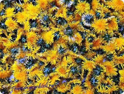 цветки одуванчика применение в народной медицине