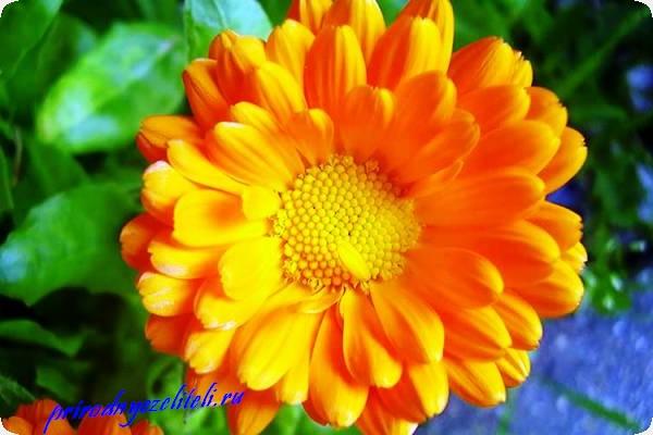 цветок ноготок фото