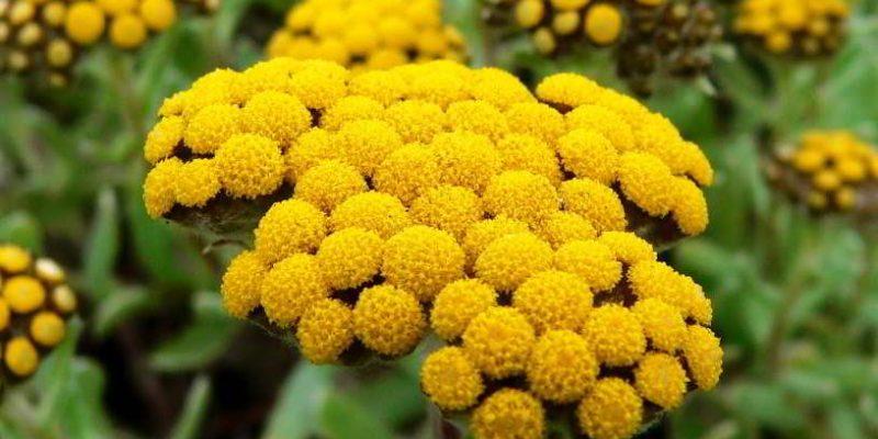 Бессмертник — трава лечебные свойства, противопоказания, лечебные рецепты