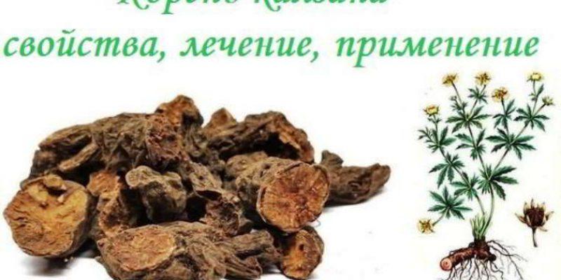 Корень калган-травы: лечебные свойства и противопоказания