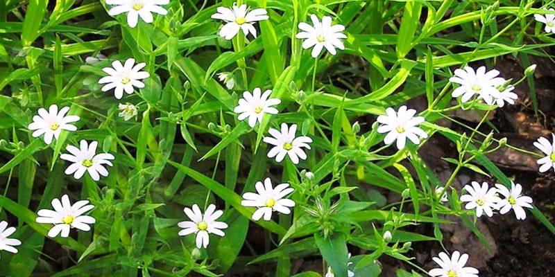 Мокрица трава лечебные свойства, рецепты, применение, фото
