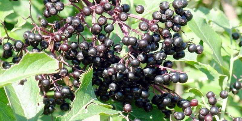 Ягоды бузины чёрной лечебные свойства, применение, народные рецепты