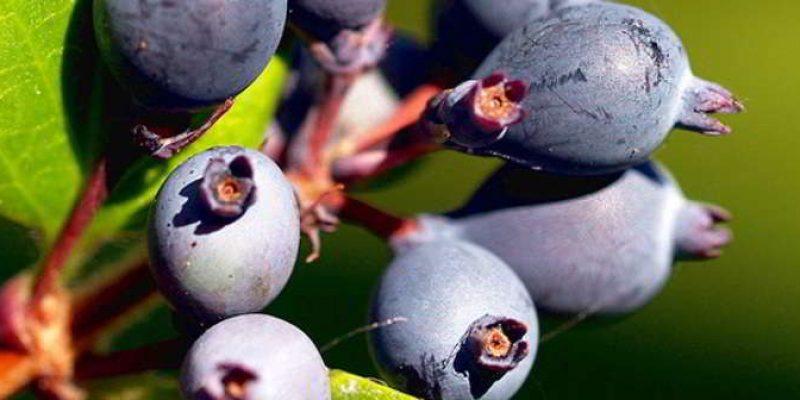 Ирга – полезные свойства коры, листьев, ягод, противопоказания к применению