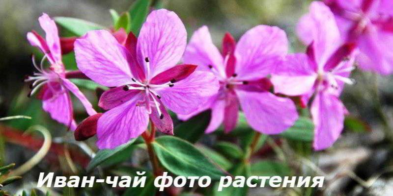 Иван-чай фото растения, как выглядит трава, описание, свойства