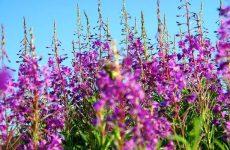 Иван чай: лечебные свойства и противопоказания к применению