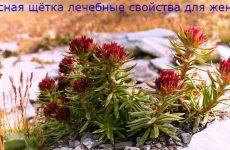 Лечебные свойства травы красная щетка для здоровья женщин