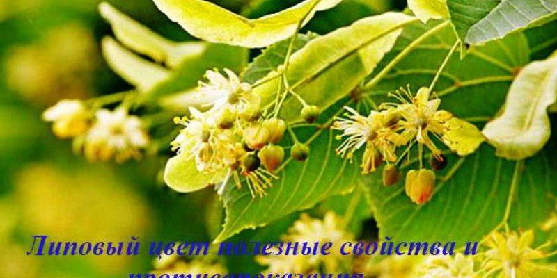 Липовый цвет: лечебные свойства и противопоказания к применению