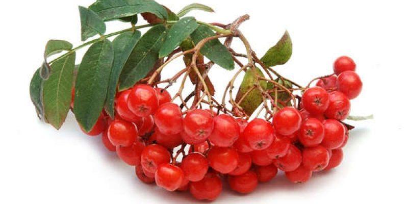 Рябина красная: полезные свойства, противопоказания, лучшие рецепты