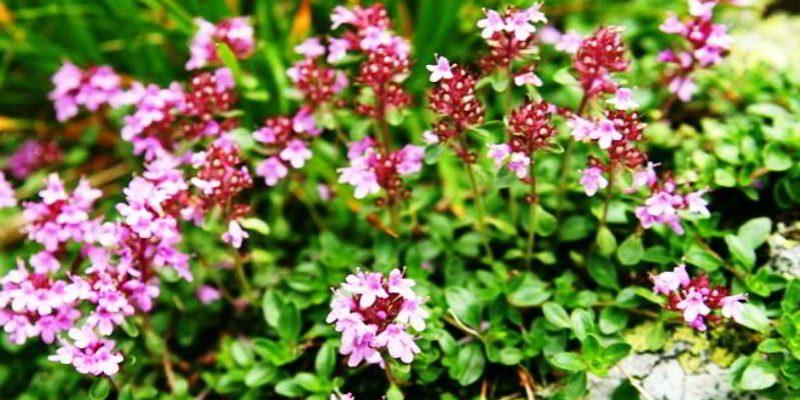 Чабрец богородская трава, её лечебные свойства и противопоказания, отзывы