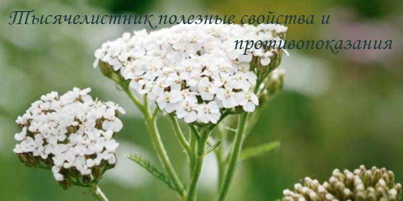 Тысячелистник: полезные свойства травы и противопоказания